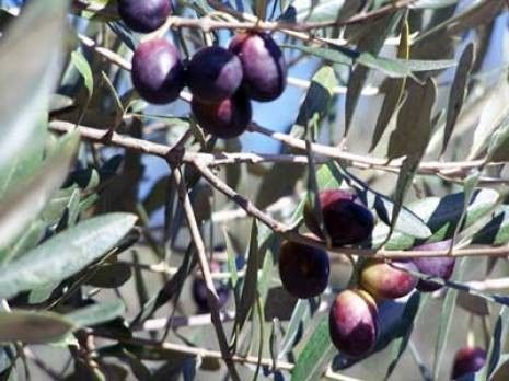 Cueillettes des olives